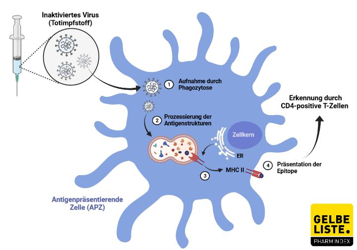 Wirkmechanismus Totimpfstoff